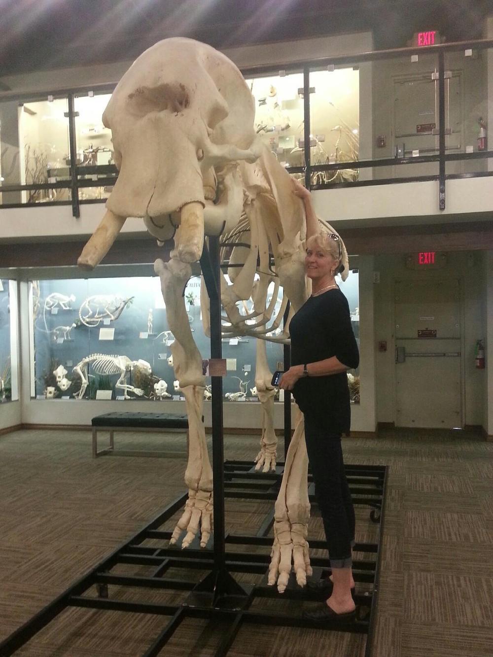 Africa Elephant Full Skeleton - Running Wild Studio Elephant Skeletons Elephant Bones