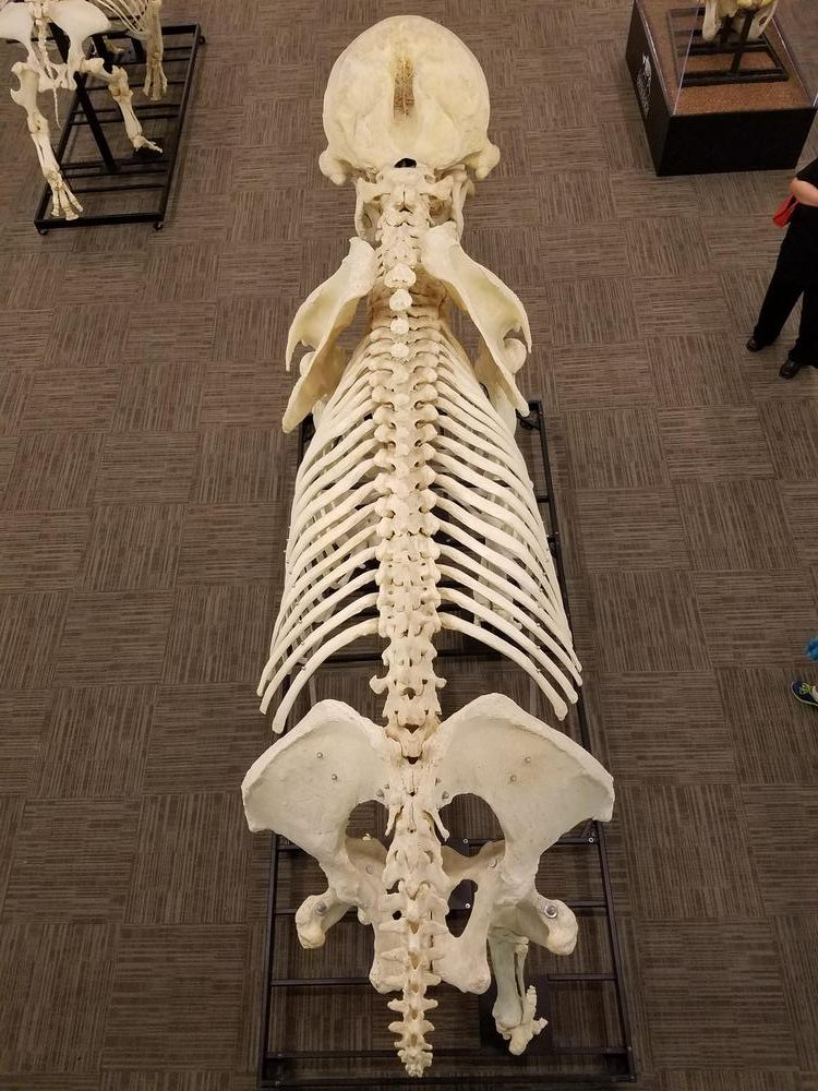 Looking down on a complete skeleton - Running Wild Studio Elephant Skeletons Elephant Bones
