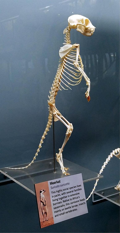 Meerkats Skeleton - Audubon Zoo Meerkats Bronze Sculpture - Running Wild Studio Meerkat Sculptures New Orleans Audubon Meerkats